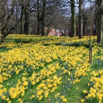 Slope covered in Daffodils in Sefton Park, Liverpool